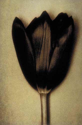 BAF02510_SheilaMetzner_Black Tulip